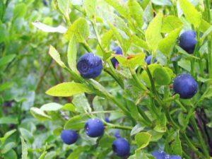 Blaubeere Heidelbeere